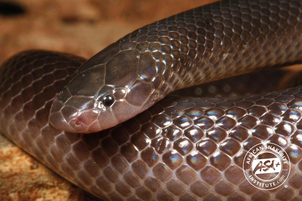 Bibron S Stiletto Snake African Snakebite Institute