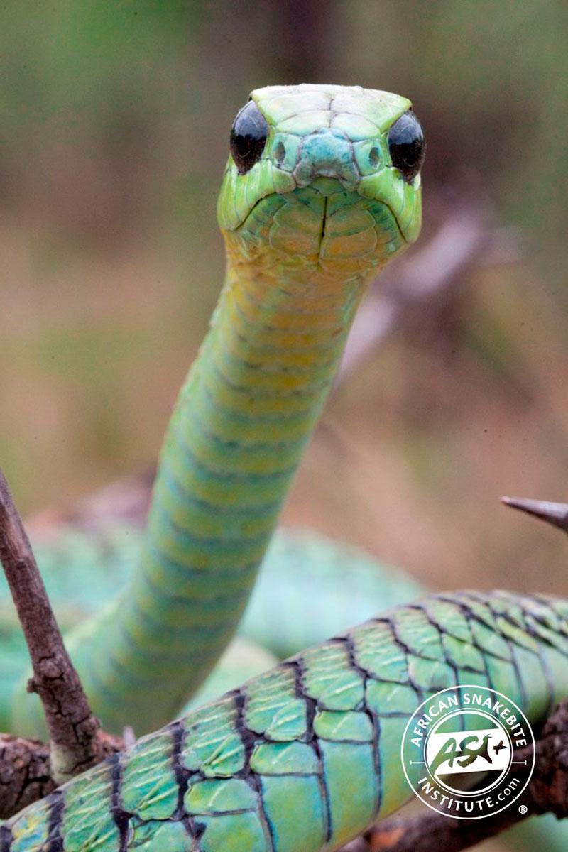 Boomslang African Snakebite Institute