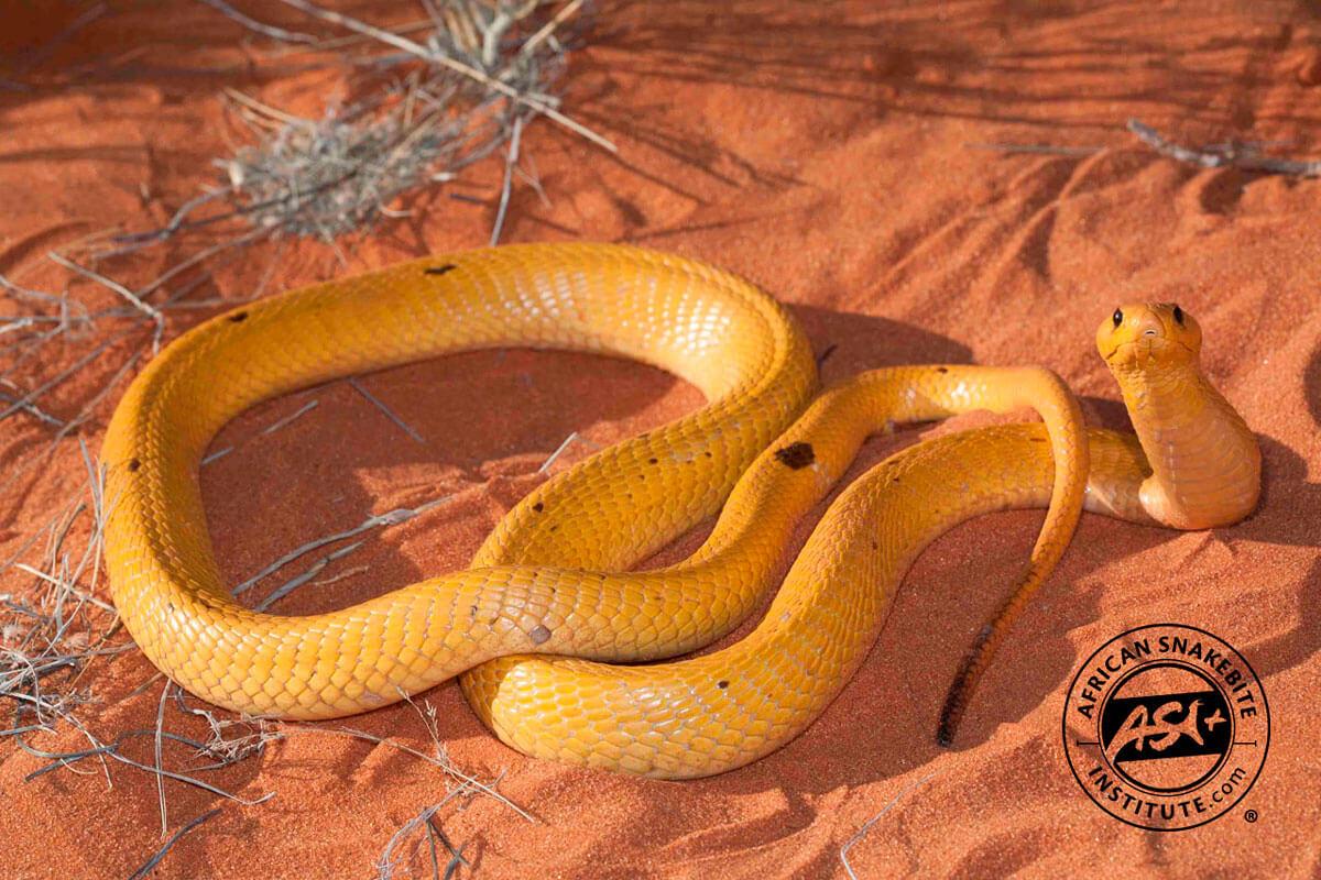 E >> Cape Cobra - African Snakebite Institute