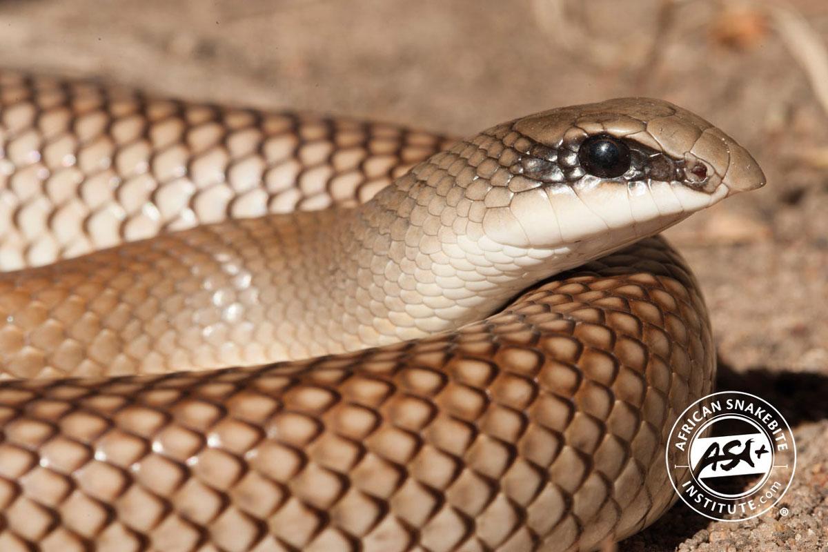 Rufous Beaked Snake - African Snakebite Institute