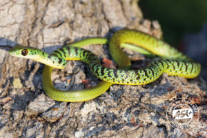 Spotted Bush Snake Juvenile
