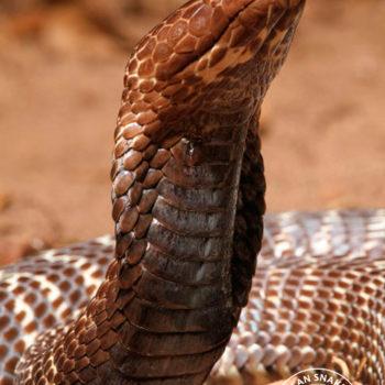 Snakebite - African Snakebite Institute