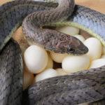 ASI Newsletter – Snake Killers