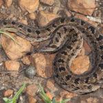 ASI Newsletter – Mildly Venomous Snakes