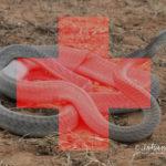 ASI Newsletter – Snakebite Emergency Protocols