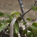 ASI Newsletter – Snakes in your bed