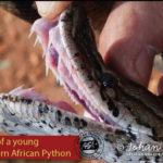 ASI Newsletter – Bites from mildly venomous and non-venomous Snakes