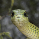 ASI Newsletter – Snakes and Sight