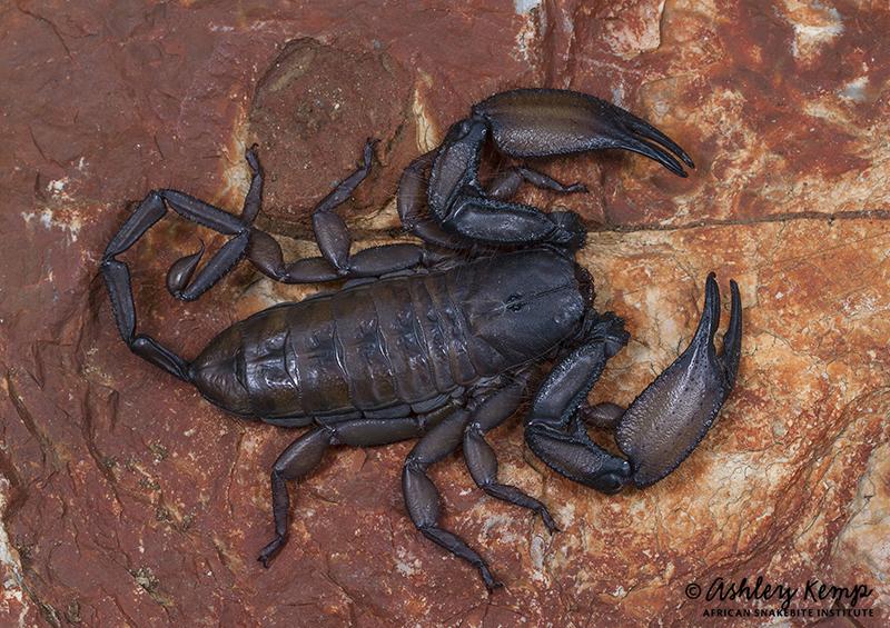 Giant Rock Scorpion (Hadogenes troglodytes) - © Ashley Kemp