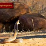 ASI Newsletter – Spitting Snakes