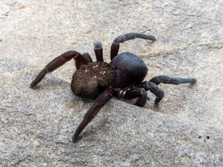 Velvet Spider - photo Willem van Zyl